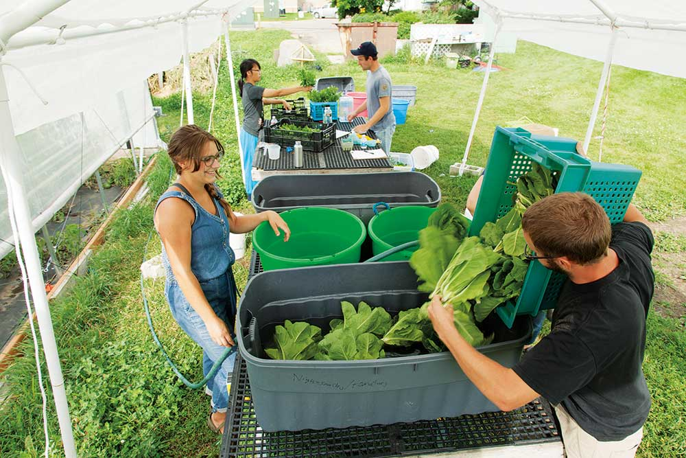 Four students harvest lettuce into large totes