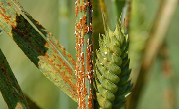 Stem rust on little club wheat