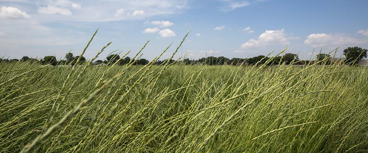 Perennial grain Kernza growing in St. Paul on the Twin Cities campus.
