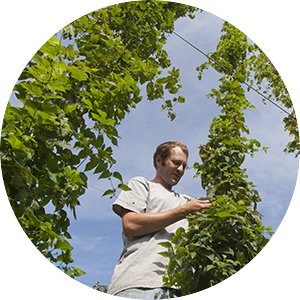 Hops research at the Southern Research and Outreach Center in Waseca, Minnesota