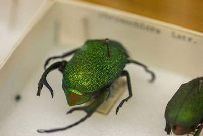 A vibrant green insect as part of the Department of Entomology's insect collection that recently reached 4 million specimen.
