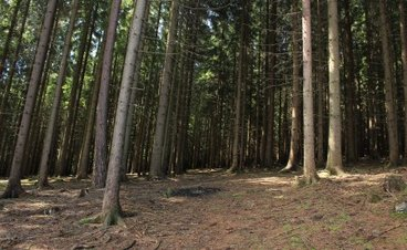 a pine forest floor