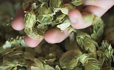 Close up of Mighty Axe CEO Eric Sannerud hand holding hops that he grew